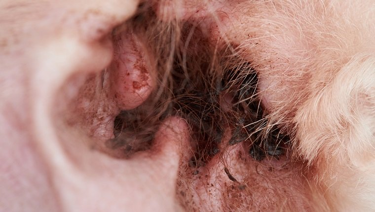 Closeup of infection in dog ear. Dirty dog poodle ear