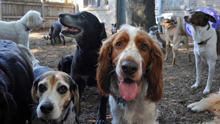 """Large group of dogs (about 15) milling around in outside playlot of doggie day care facility. Some dogs are looking in the camera. Breeds: """"Brittany Spaniel"""" center looking in camera in center; """"Beagle"""" on left; """"Labrador"""" in middle"""