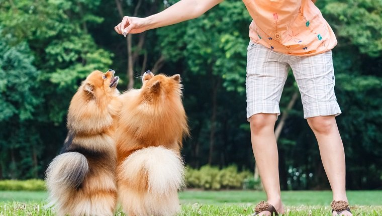 Pomeranian dogs standing on its hind legs to get a treat from owner
