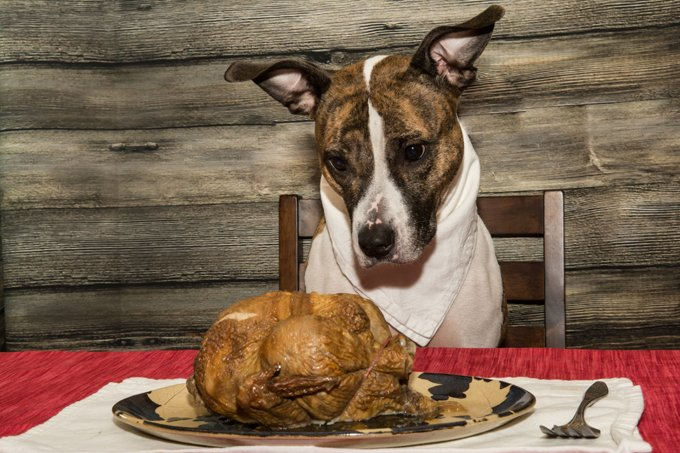 A cute dog begging for the Holiday Feast.