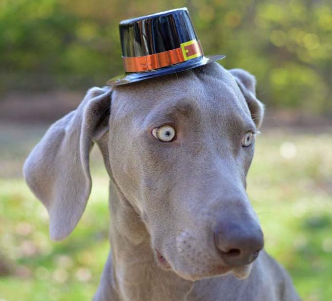"""In this image, my pet Weimaraner is outside in the fall wearing a pilgrim Thanksgiving hat. This image is part of my """"Thomas Hats"""" series which is holiday/season themed."""