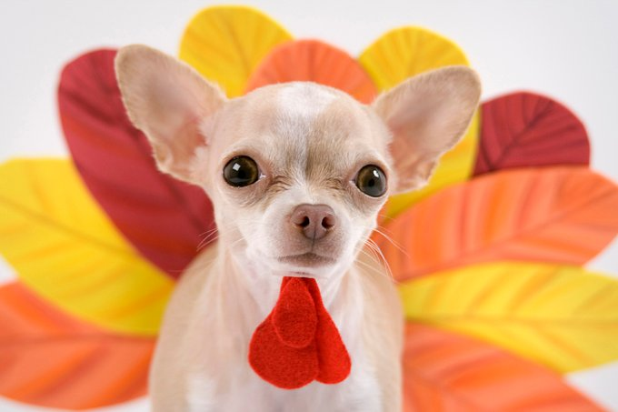 little chihuahua dressing like a turkey for thanks giving