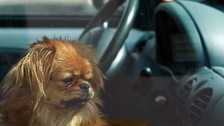 Dog left in the car