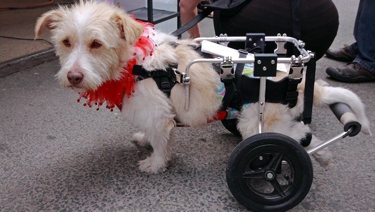 Paralyzed dog walking with a pet walker