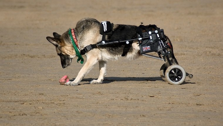 Alsation dog on beach with mobility wheels to replace its paralyzed legs in Cornwall, England.