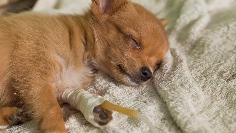 puppy with saline fluid therapy