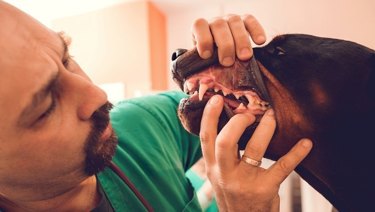 Close up of male vet examining dental hygiene of a purebred dog.