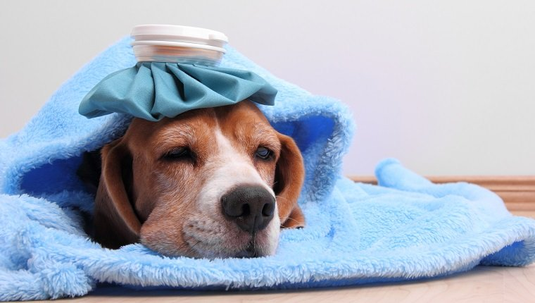Little dog with ice pack and blanket lying on the floorSome other related images: