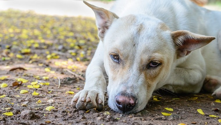 Close up of unhappy white dog.