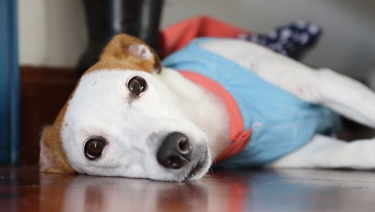 jack russell lie on the wooden floor