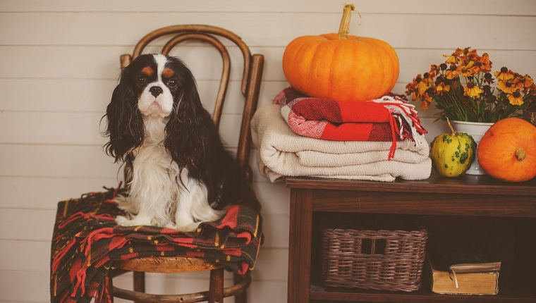 cavalier king charles spaniel dog sitting on chair in wooden country house with seasonal autumn decoarations, pumpkins and knitted blankets
