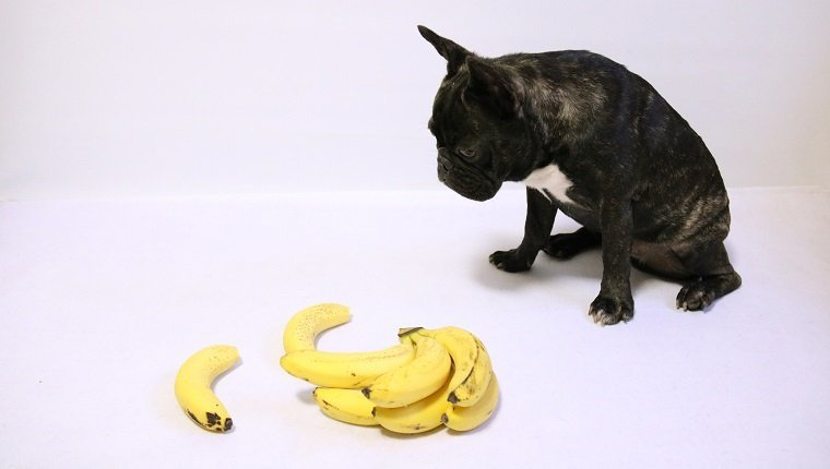 Photo with French Bulldog and banana on white background