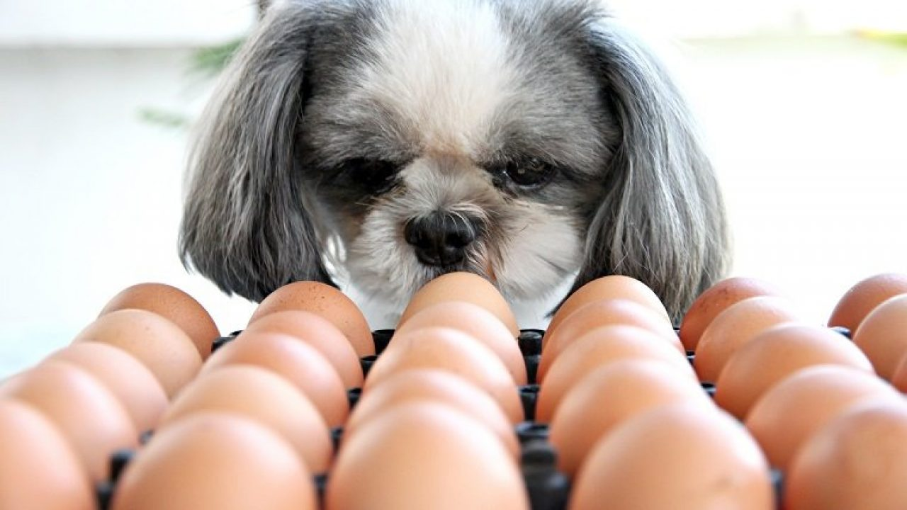 Can Dogs Eat Eggs? Are Eggs Safe For