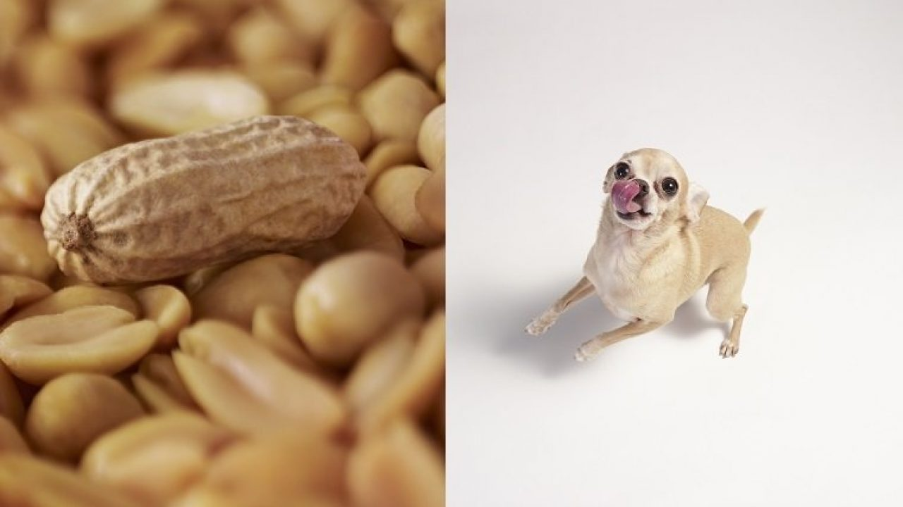 Can Dogs Eat Peanuts? Are Peanuts Safe For Dogs? - Dogtime