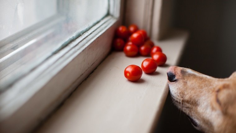 Can Dogs Eat Tomatoes? Are Tomatoes