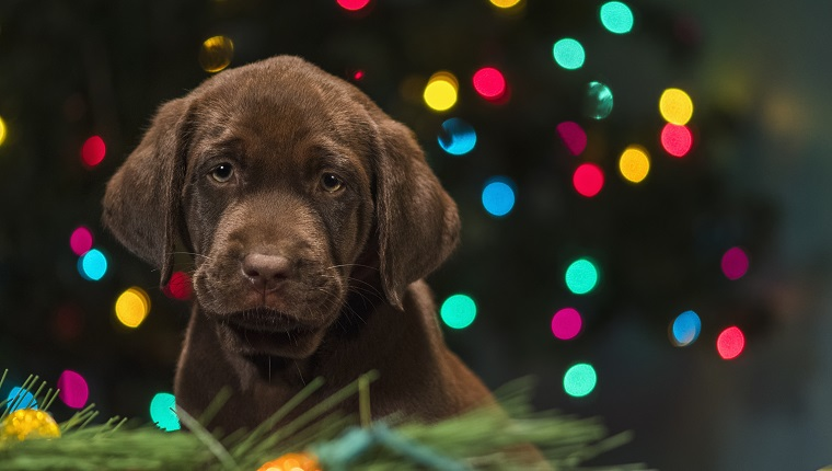 "A young cute adorable 8 week old Yellow Labrador Retriever puppy sitting among the Christmas decorations on the floor, looking at the camera, with multi-colored lights on a Christmas tree in the background at night indoors. ""Bailey"""