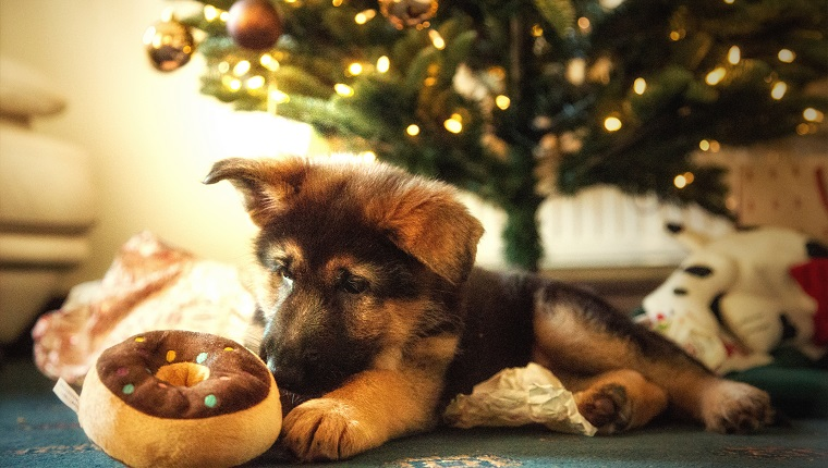 German Shepherd Puppy with Christmas decorations
