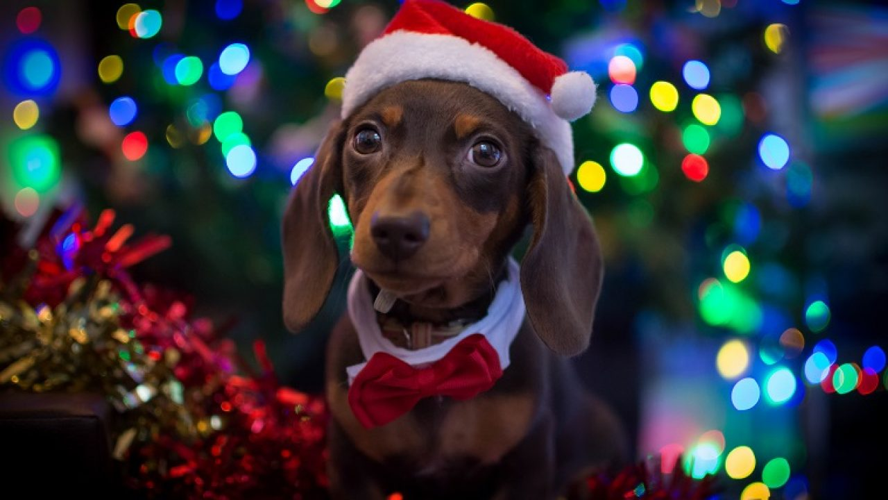 Christmas Puppies.30 Of The Cutest Christmas Puppies On Earth Pictures Dogtime