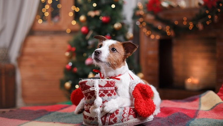 Cute Dog Jack Russell Terrier holiday, Christmas and New Year