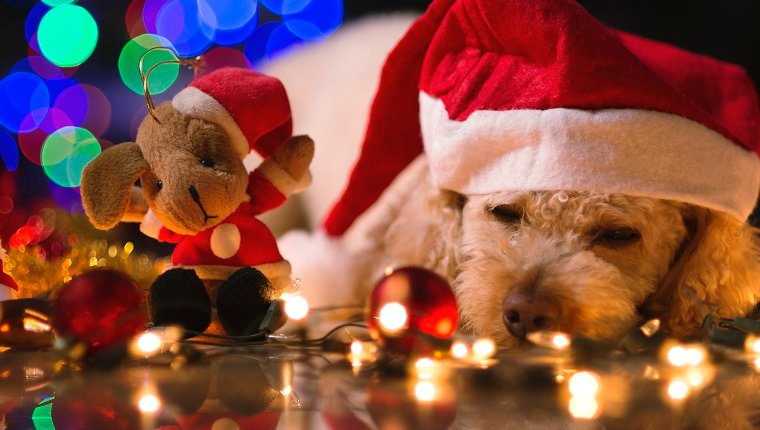Cute little dog, with Santa costume, several Christmas ornaments, and several blurred lights in the background.