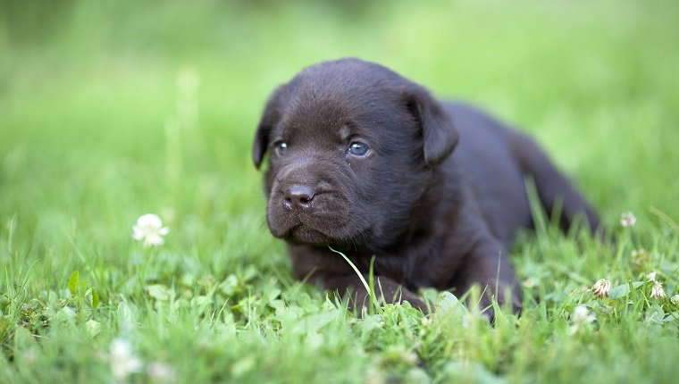 Brown labrador puppy on the grass who may suffer from cryptorchidism