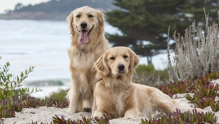 Golden Retriever is a large-sized breed of dog bred as gun dogs to retrieve shot waterfowl such as ducks and upland game birds during hunting and shooting parties, and were named retriever because of their ability to retrieve shot game undamaged.