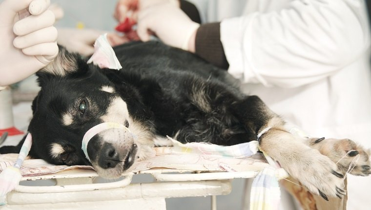 Performing Ovary removal dog surgery