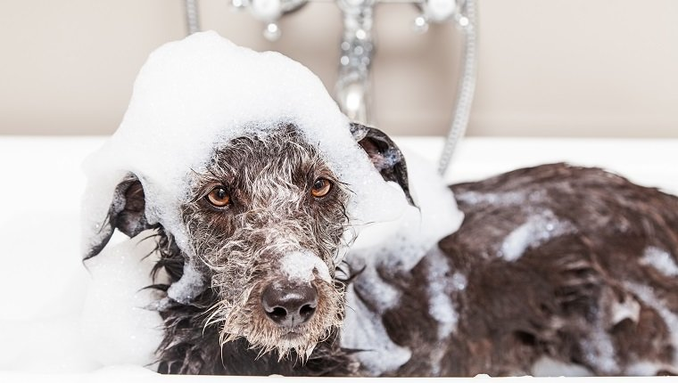 Wet terrier crossbreed dog in bathtub with soap suds all over head and an unhappy expression