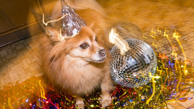 Dog wearing party hat. Dog is a Pomeranian.
