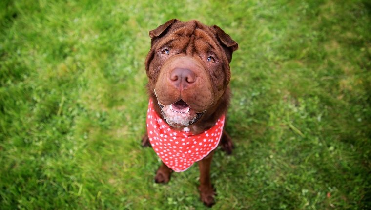 """Brown Shar Pai looking up towards the camera, wearing a red dotted bandanna.Shar Pei or Chinese Shar-Pei, is a breed of dog known for its distinctive features of deep wrinkles and a blue-black tongue. The breed comes from China and the name translates to """"sand skin"""" and refers to the texture of its short, rough coat."""