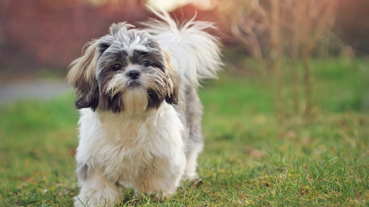 30 Best Dog Names For Stunning Shih Tzus Pictures Dogtime