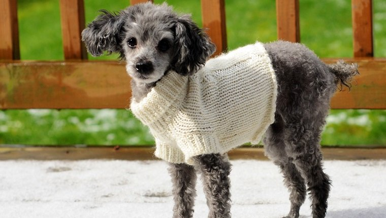Older toy poodle with a sweater outside in the snow.