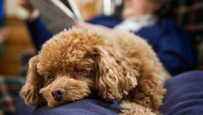 A sleepy toy poodle lays on the lap of a senior woman while she reads a newspaper.