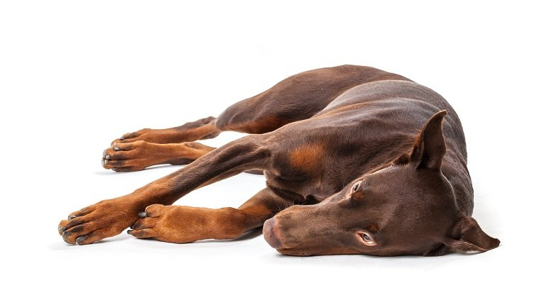 Doberman isolated on a white background