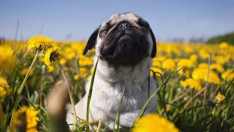 Pug in dandelion meadow, closeup, possibly open to allergic reactions