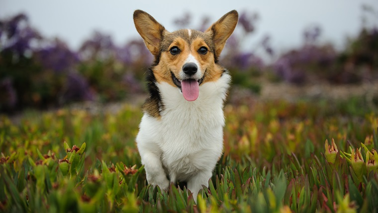 Pembroke Welsh Corgi Running Over Field