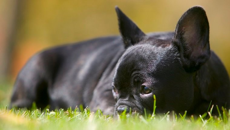 Model and property released. French bulldog puppy lying in the grass.