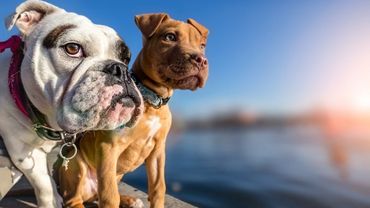 What Are Bully Dog Breeds Why Do We Call Them Bullies Dogtime