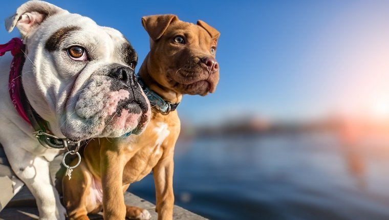 Two dogs standing on wooden dock on lake