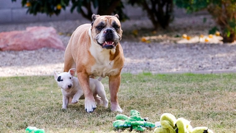What Are 'Bully Dog' Breeds? Why Do We Call Them Bullies? - DogTime