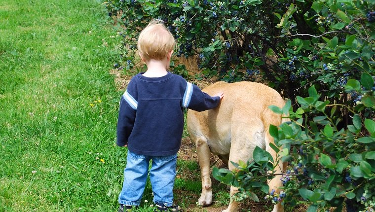A young boy and his yellow labrador dog at a blueberry farm in Hood River, Oregon.