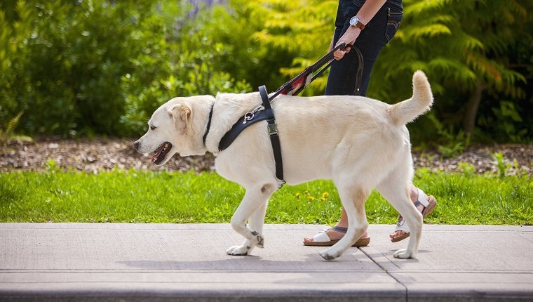 Model released, property release for guide dog. Guide dog leading young woman on city sidewalk.