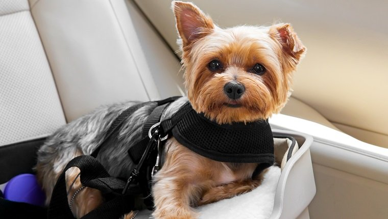 Cute little dog is secured in car seat. rr