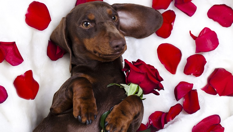 dog dachshund with roses wants to be your valentine