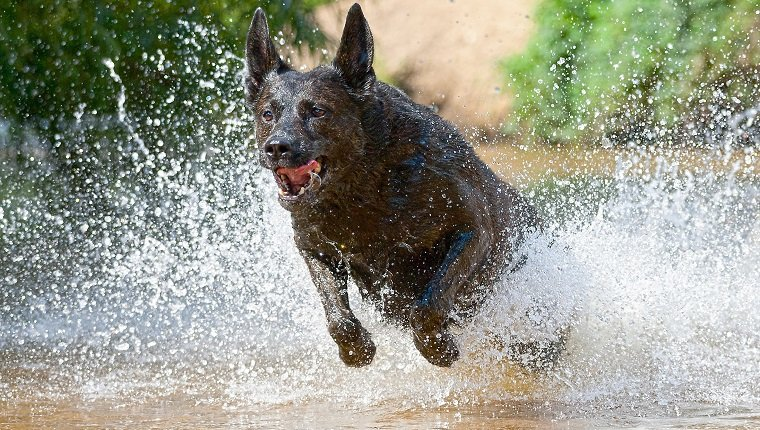 Dutch Shepherd Dog Breed Information Pictures Dogtime