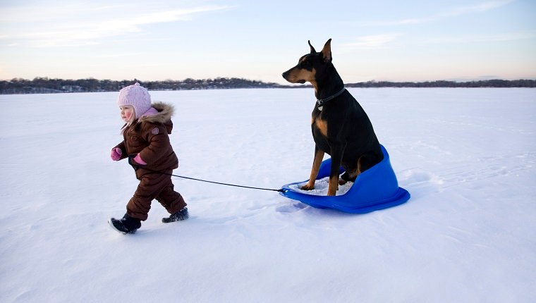 Girl (15-18 months) pulling Doberman on sledge in winter landscape
