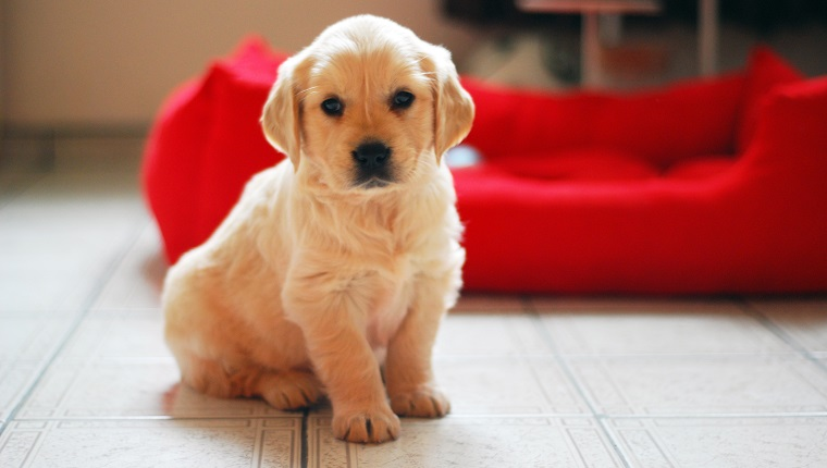 Golden retriever puppy portrait