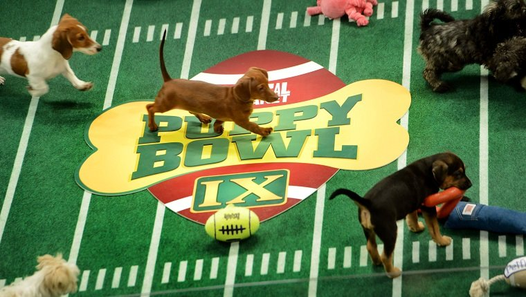 "**Embargoed til 2/5/2013** NEW YORK CITY, NY - NOVEMBER 11: Adoptable puppies play during the taping of Animal Planet's ""Puppy Bowl IX"" program in New York City, NY on November 11, 2012. The mock football game will air as counter programming to the actual superbowl. On the internet, puppy bowl has been a huge sensation and now in it's 9th year. The puppies used in the show are from shelters and rescue organizations from across the country. The kittens in the half time show came from a shelter located in New York City. (Photo by Linda Davidson / The Washington Post via Getty Images)"