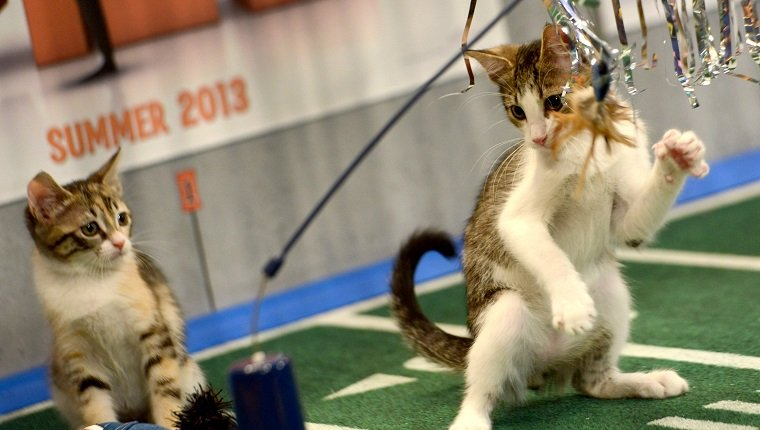 "**Embargoed til 2/5/2013** NEW YORK CITY, NY - NOVEMBER 11: Kittens play on the halftime set at the taping of Animal Planet's ""Puppy Bowl IX"" program in New York City, NY on November 11, 2012. The mock football game will air as counter programming to the actual superbowl. On the internet, puppy bowl has been a huge sensation and now in it's 9th year. The puppies used in the show are from shelters and rescue organizations from across the country. The kittens in the half time show came from a shelter located in New York City. (Photo by Linda Davidson / The Washington Post via Getty Images)"