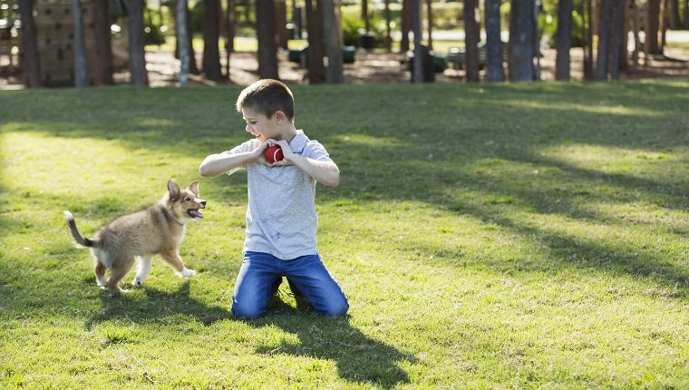 A 7 year old boy playing fetch with his sheltie puppy in the park. The child is holding a ball and is about to throw it for the dog to retrieve.